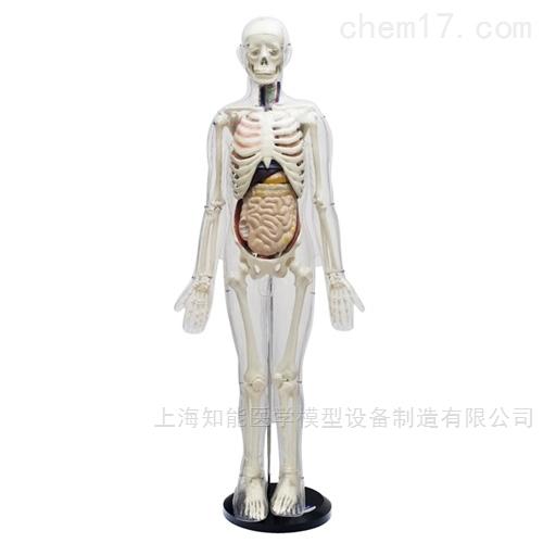 85cm人体体表、人体骨骼与内脏关系模型