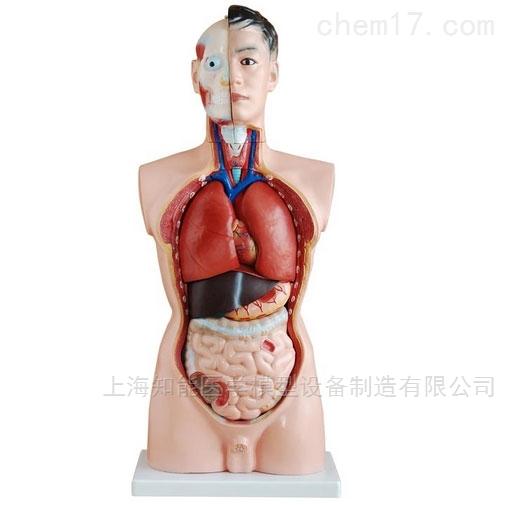 医学解剖模型