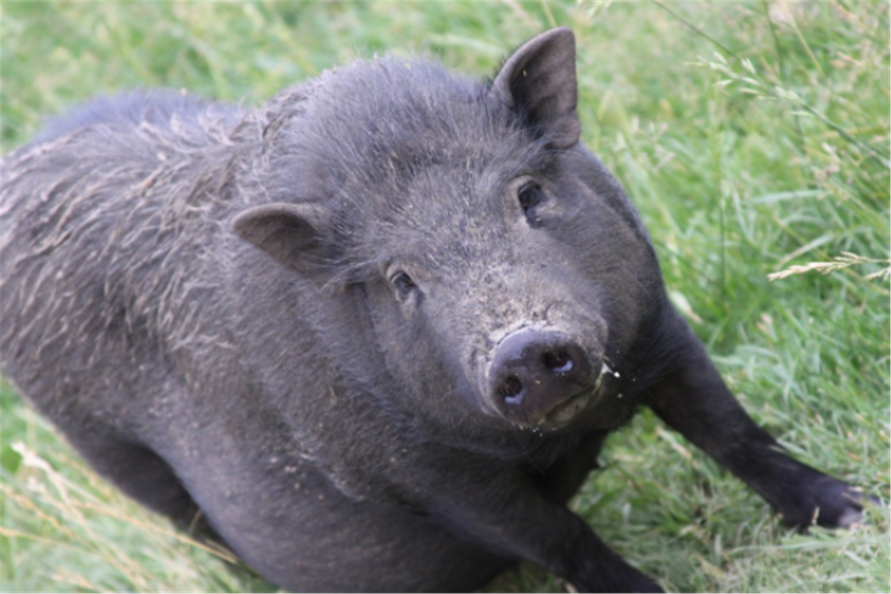 黑猪肉香在哪里?风味物质研究推动食品品质改善